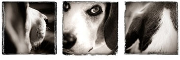 Beagle Photography