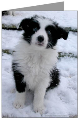Border Collie Puppy Christmas Cards