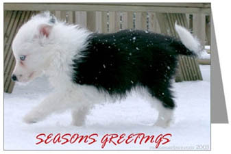 Border Collie Christmas puppies