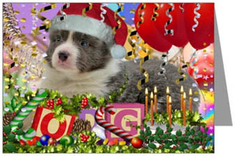Border Collie xmas puppy