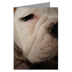 English Bulldog Closeup