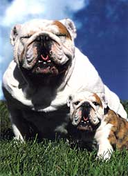 english bulldog with puppy father's day card