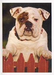Bulldog Happy Birthday Card