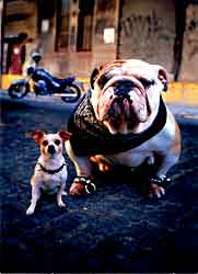 Bulldog and Chihuahua Biker Birthday card