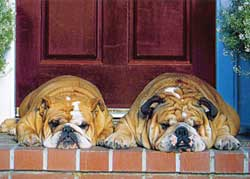 Two Bulldogs Anniversary Card