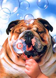 Bulldog Blowing Bubbles Birthday card