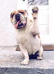 Bulldog Waving Friendship Card