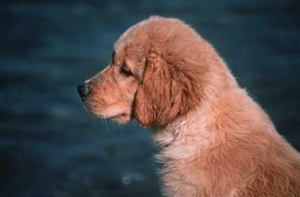 cute golden retriever wallpaper. pictures golden retriever